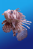 Lion-fish. This is tropical fish under water Stock Images