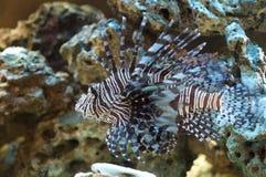 Lion fish. Macro of tropical lion fish Royalty Free Stock Photo
