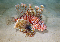 Lion-fish fotografia de stock