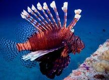 Free Lion Fish Stock Image - 17546481