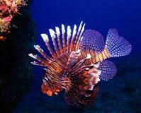Free Lion Fish Stock Photos - 17546483