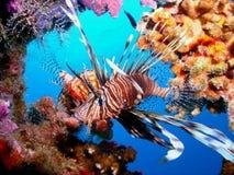 Free Lion Fish Royalty Free Stock Image - 17546486