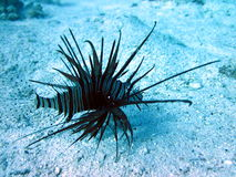 Lion fish Stock Image