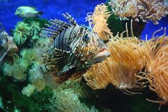 Lion fish 2 Royalty Free Stock Photography