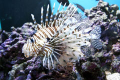 Lion Fish Royalty Free Stock Photography