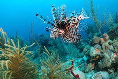 Lion fish. In colorful marine habitat Stock Photography