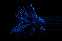Lion Fish. In blue light in zoo aquarium Stock Photography