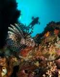 Lion Fish. Striped lionfish on coral reef, blue water and scuba diver in background Royalty Free Stock Photo