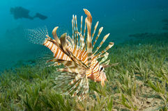 Lion Fish. In the Red Sea in clear blue water Royalty Free Stock Photos