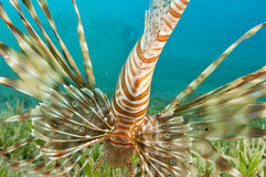 Lion Fish. In the Red Sea in clear blue water with the fish finns on display Stock Photo