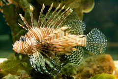Lion Fish. Side shoot of a lion fish Stock Photography