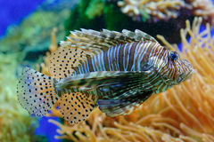 Free Lion Fish Stock Photography - 2530332
