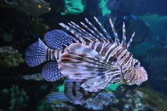 Lion fish Stock Image