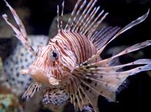 Lion fish 3 Royalty Free Stock Photo