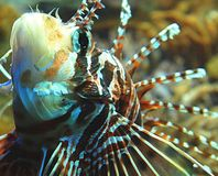Lion fish. In an aquarium Royalty Free Stock Photography
