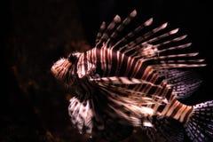 Lion Fish Royalty-vrije Stock Foto's
