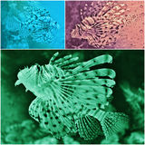 Lion fish Stock Photo