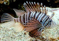 Lion fish 4 Royalty Free Stock Photography