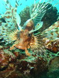 Lion Fish. Stalking Lion Fish On Coral Reef Royalty Free Stock Images