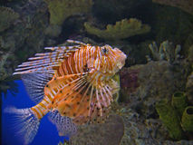 Lion Fish. A picture of the deadly and rare Lion Fish Stock Photography
