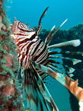 Lion Fish. (Pterois) swimming in Thailand Stock Photo