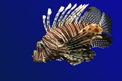 Lion fish. Fish-lion on a dark blue background separately Royalty Free Stock Photo