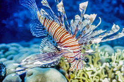 Free Lion Fish Stock Images - 57696394
