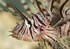 Lion fish. Has just eaten a clown fish stock image