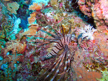 Lion Fish. Hunting inside coral, Red Sea, Egypt Stock Image