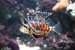 Lion fish. A tropical fish in aquarium - Lion Fish Royalty Free Stock Photo