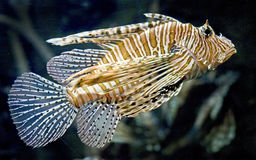 Lion fish 7 Royalty Free Stock Images