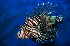 Lion Fish. A colourful Lion Fish swimming in deep blue water Royalty Free Stock Photography