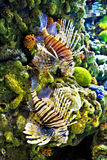 Lion Fish. Two lion fish against a reef background Stock Photo