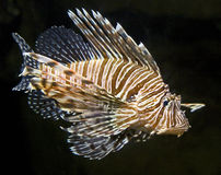 Lion fish 8 Royalty Free Stock Images