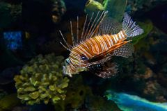 Lion fish. Spiky Lion fish Royalty Free Stock Photos