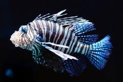 Free Lion Fish Royalty Free Stock Photos - 9440808