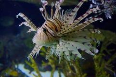 Lion Fish in acquario Berlino fotografia stock