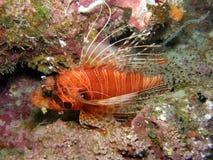 Lion fish Antennata. Brightly Coloured Lion Fish in Coral Fiji Stock Photo