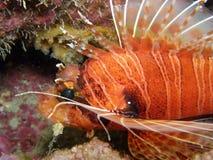 Lion fish Antennata close up Royalty Free Stock Photography