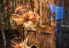 Lion fish aquarium Royalty Free Stock Image