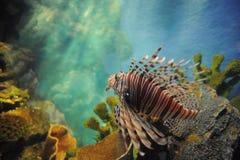 Lion fish in the aquarium. Stock Photo