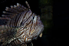 Lion fish in aquarium Royalty Free Stock Image