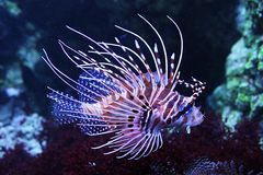 Lion fish in aquarium Stock Images