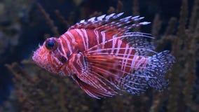 Lion fish  in aquarium with blue background stock video
