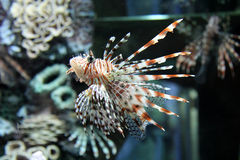 Lion fish in aquarium. On coral background Royalty Free Stock Image