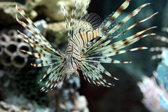 Lion fish in aquarium. On coral background Stock Image