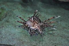 Lion Fish. In Aquarium at Mystic Royalty Free Stock Photography