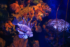 Lion fish in aquarium Royalty Free Stock Photography