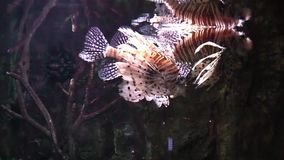 Lion fish in aquarium stock footage