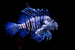 Lion Fish Royalty Free Stock Images